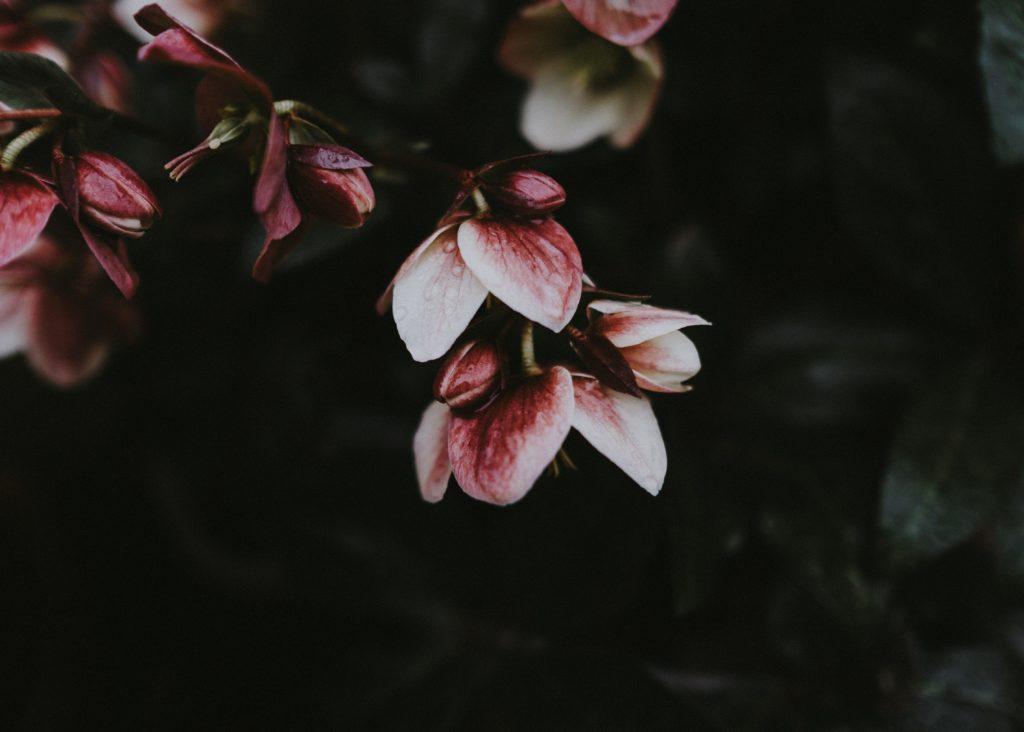 fiori rosa nell'oscurità - Photo by Annie Spratt on Unsplash
